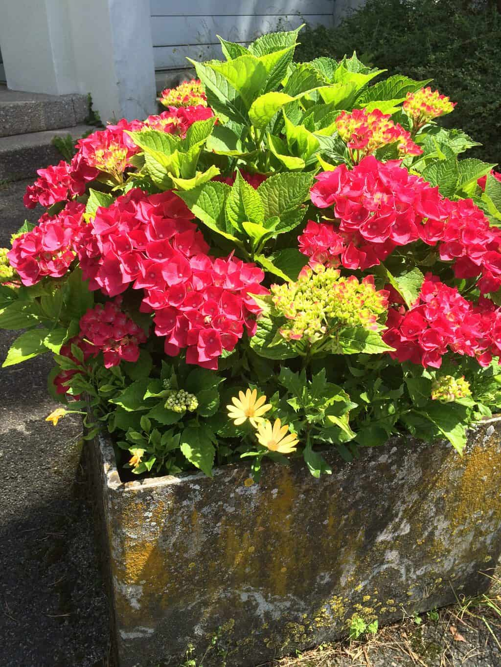 PInk hydrangeas in stone pot