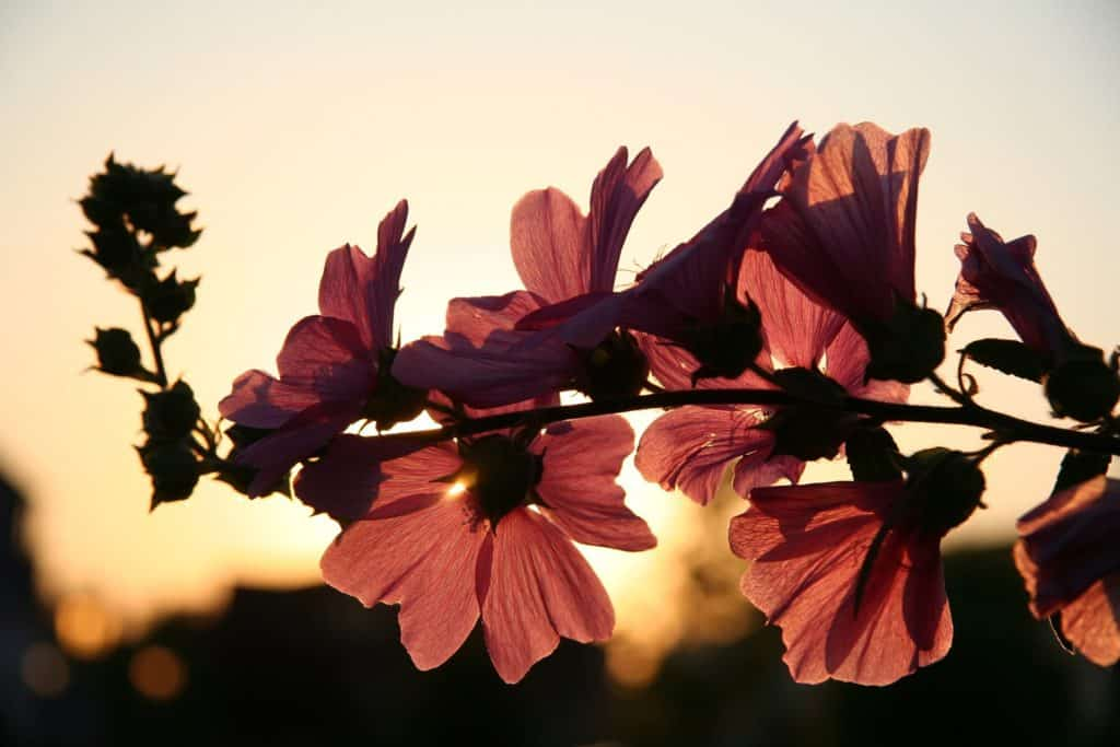 pink flowers in glow of sunset