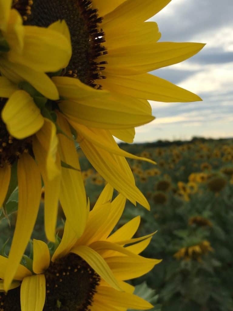 sunflowers in Italy up close