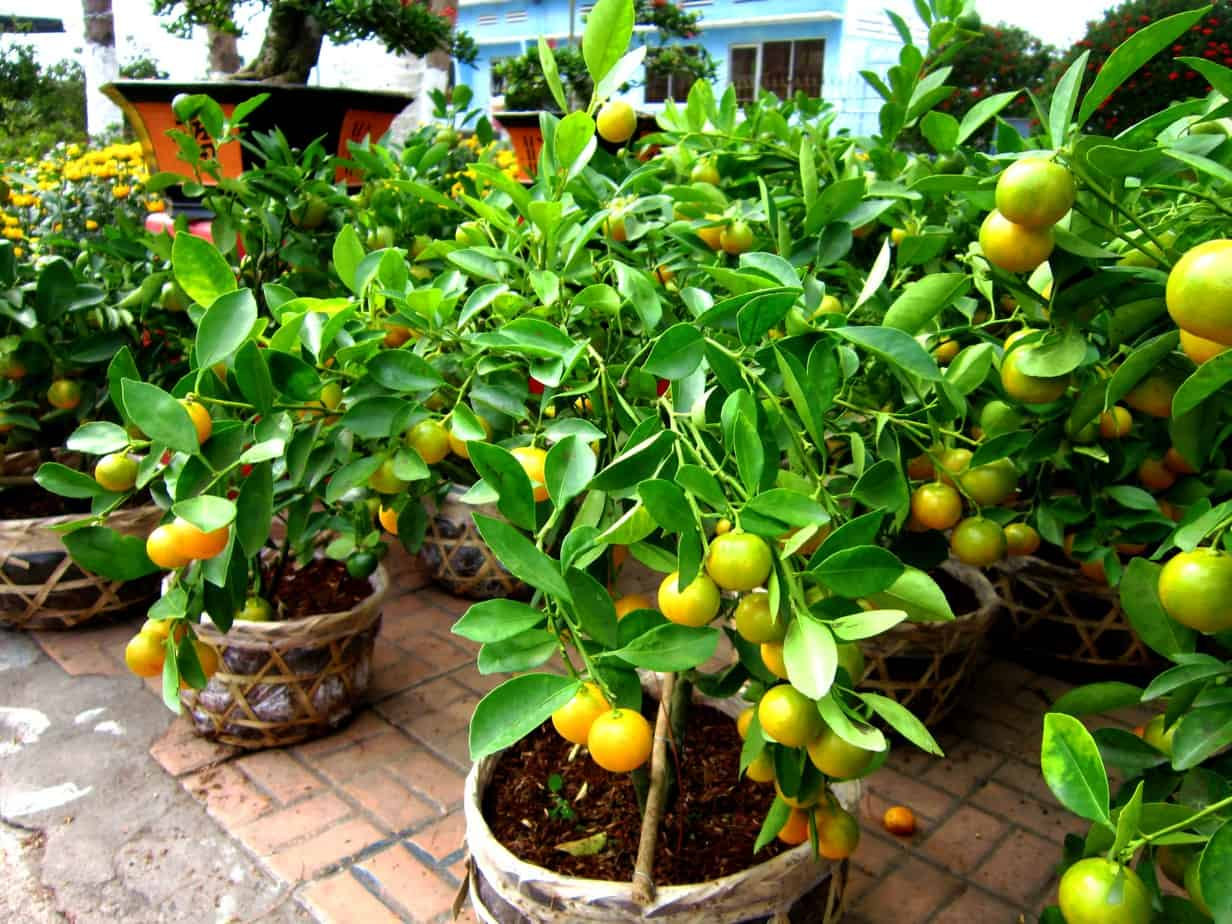 perfect gifts for seasonal depression sufferers - Meyer lemon trees