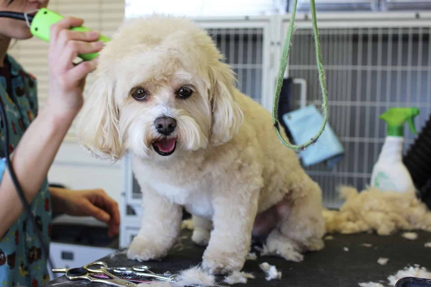 white maltese dog on grooming table getting trimmed