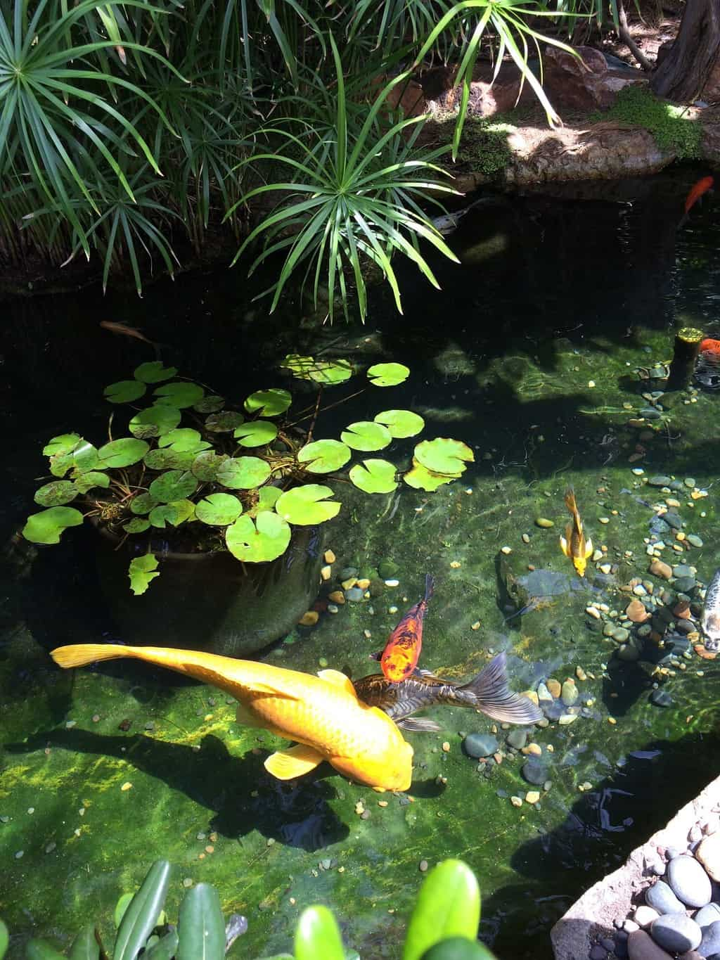 Koi pond with large yellow and orange fish and lily pads