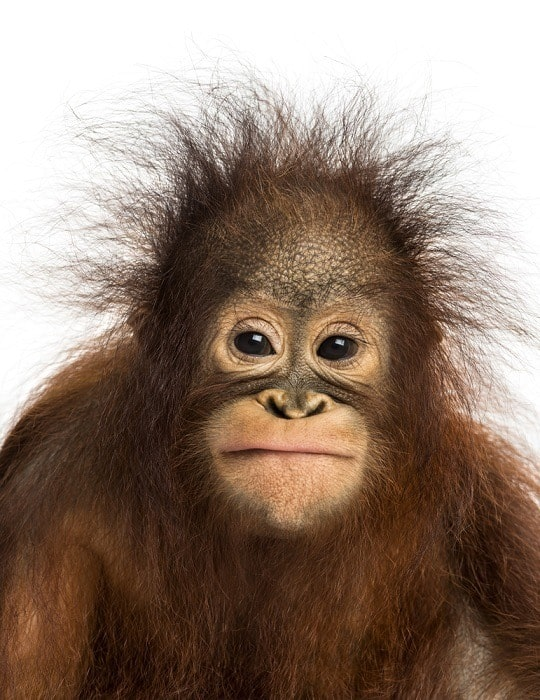 Frustrated baby orangutan expression