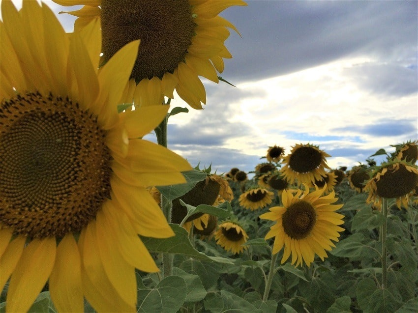 sunflower field in Tuscany - how to start your own business
